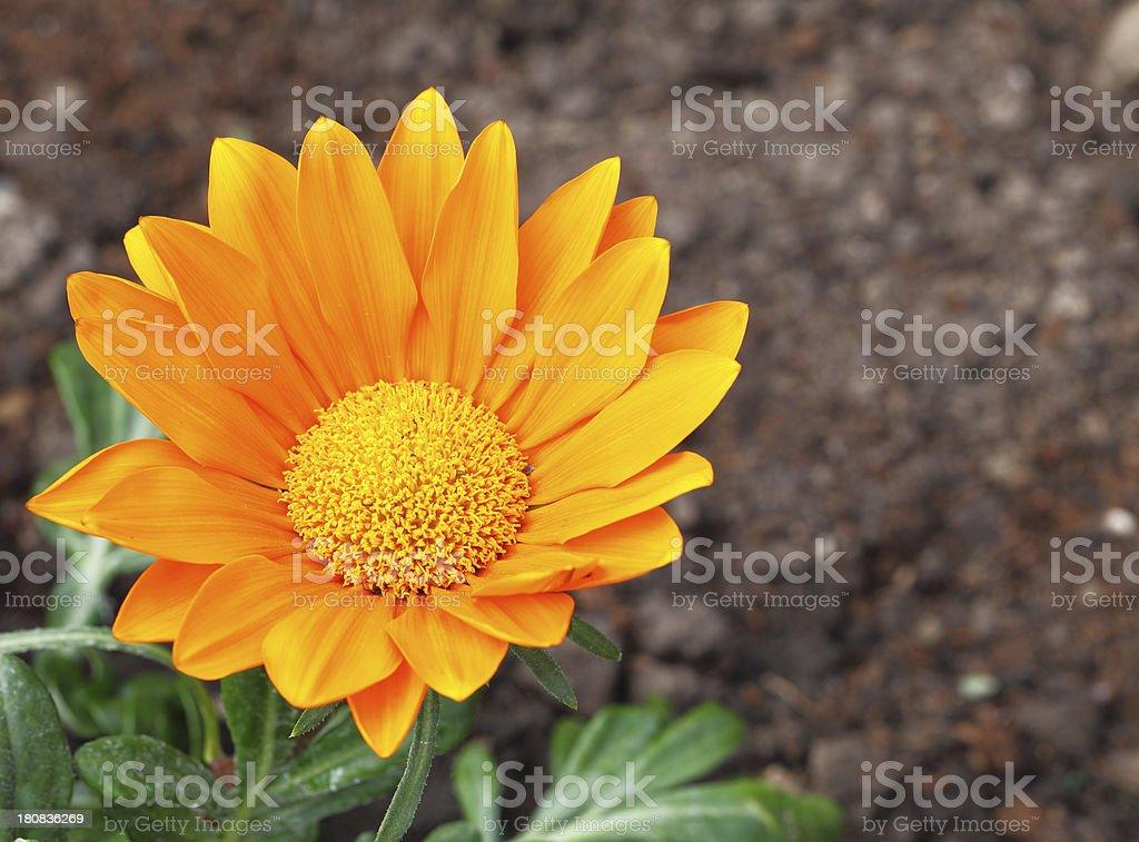 Gazania-Gazoo flower royalty-free stock photo