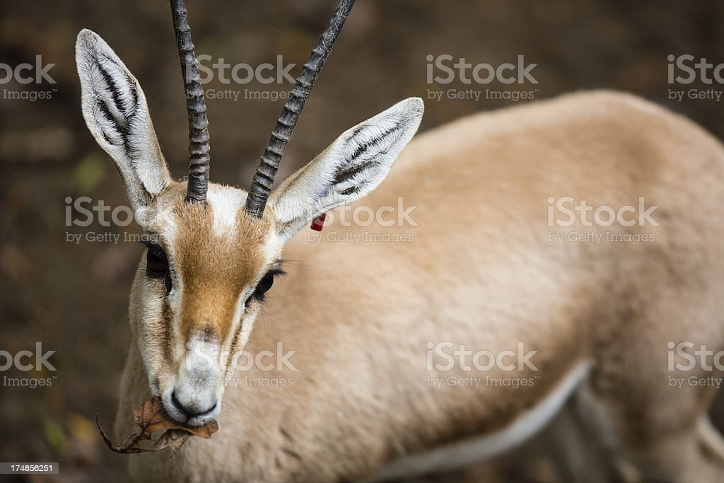 Gazelle eating a leaf royalty-free stock photo