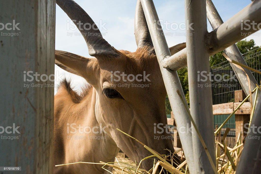 gazelle eating farm stock photo
