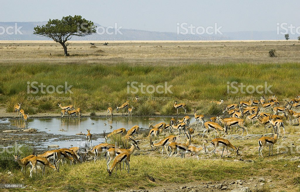 Gazelle herd stock photo