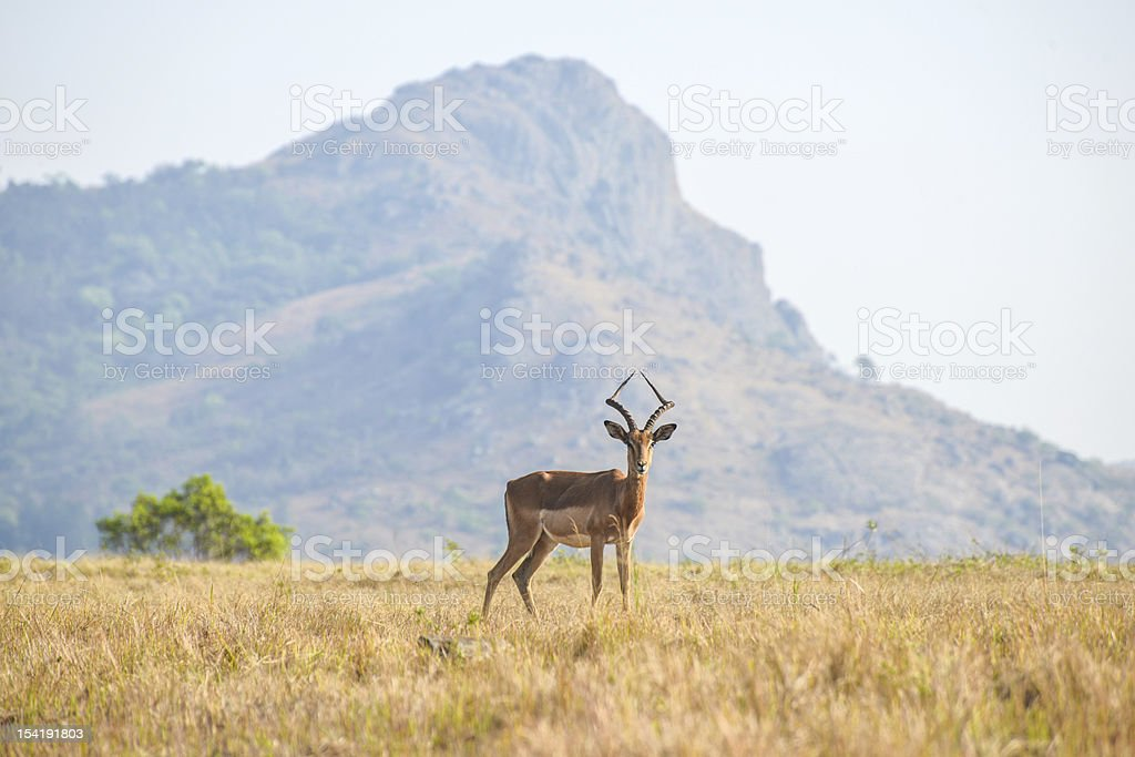 Gazelle in Mlilwane Game Reserve stock photo