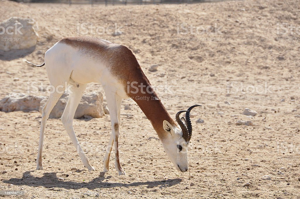 Gazelle, Dama (Gazella d.) stock photo