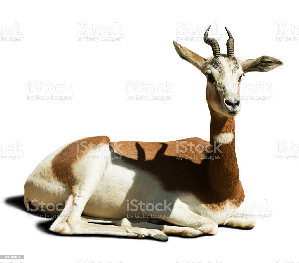 Gazelle mohor stock photo
