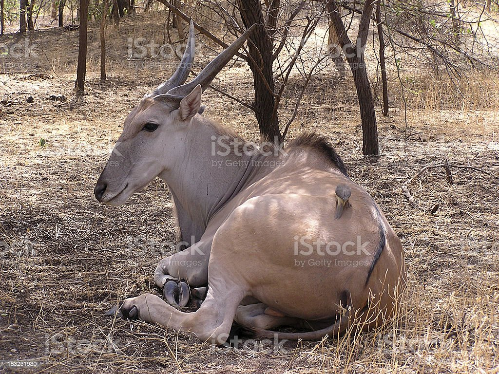 Gazelle royalty-free stock photo