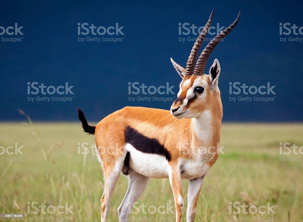 Gazelle stock photo