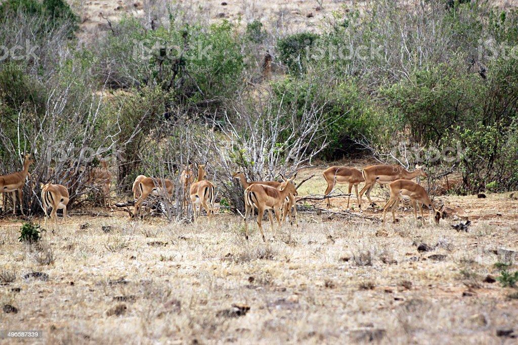 gazelle savannah of the park Tsavo East royalty-free stock photo