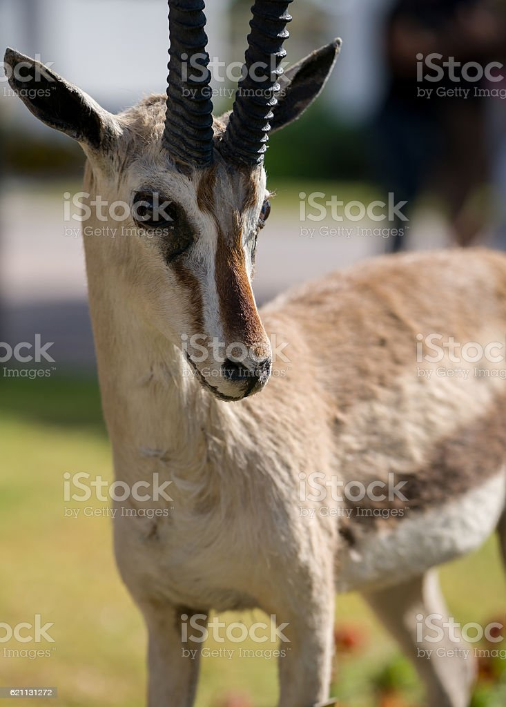 gazelle With Horns stock photo