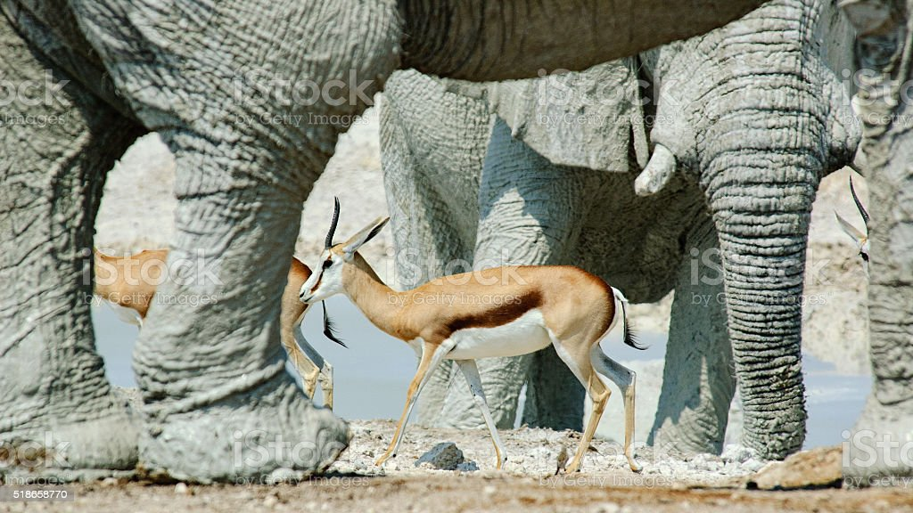 gazelles among elephants stock photo