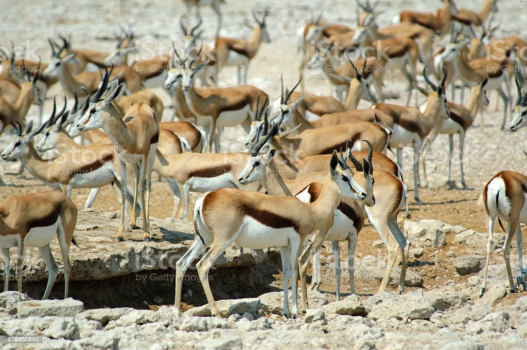 gazelles at a water hole stock photo