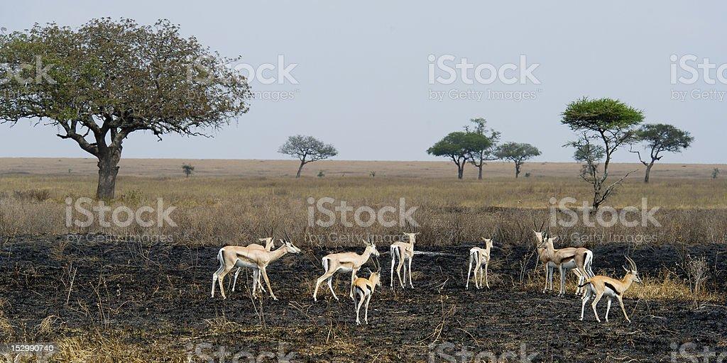 Gazelles on burned ground royalty-free stock photo
