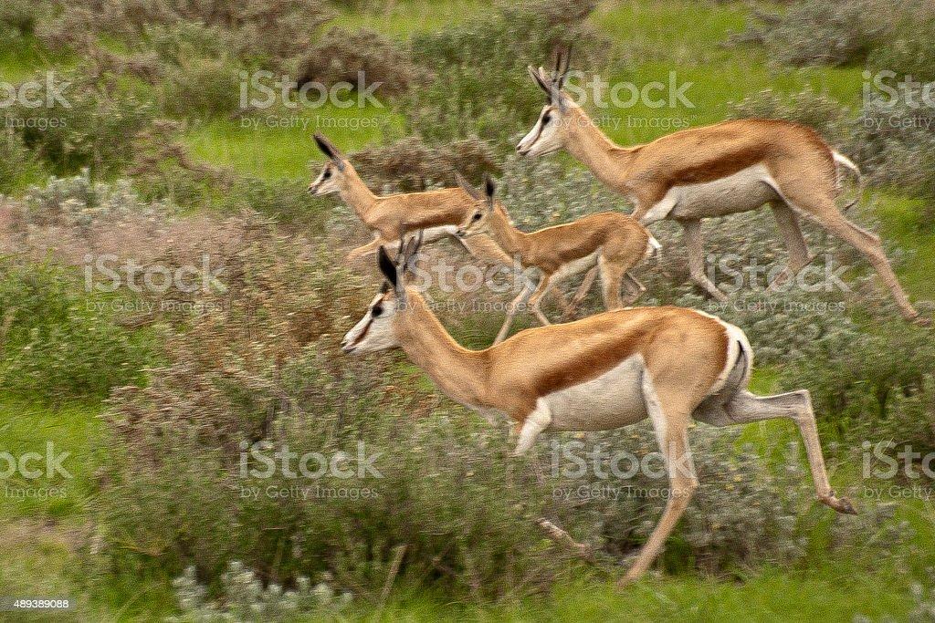 Gazelles on the run stock photo