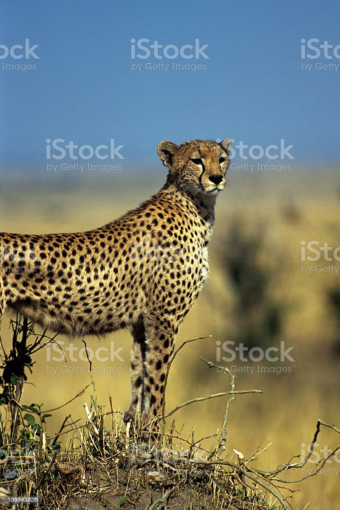 Gazing cheetah royalty-free stock photo