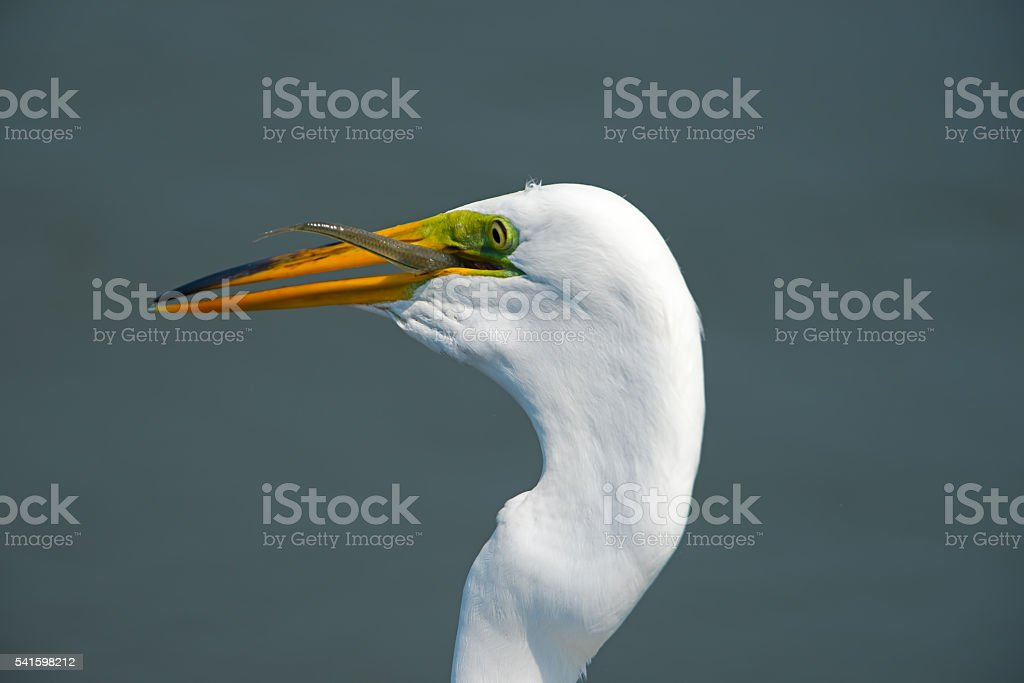 Geat Egret with Fish stock photo