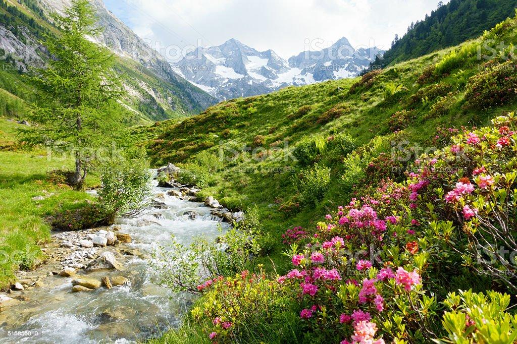 Gebirgsfluß mit Alpenrosen in den Alpen im Frühjahr stock photo