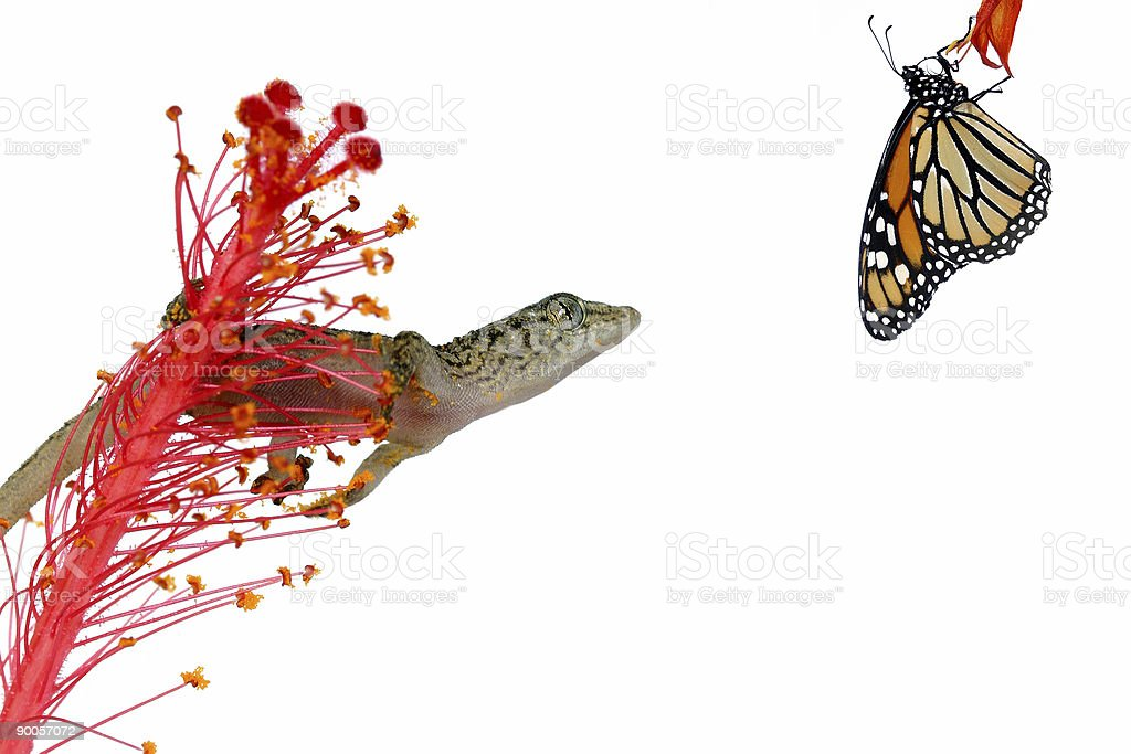 Gecko and Prey royalty-free stock photo