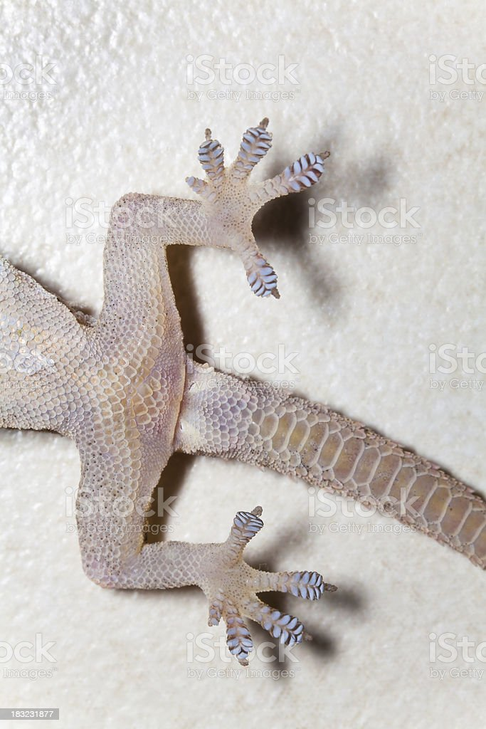 Gecko  -- Better than Spiderman! stock photo