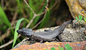 Gecko black close up