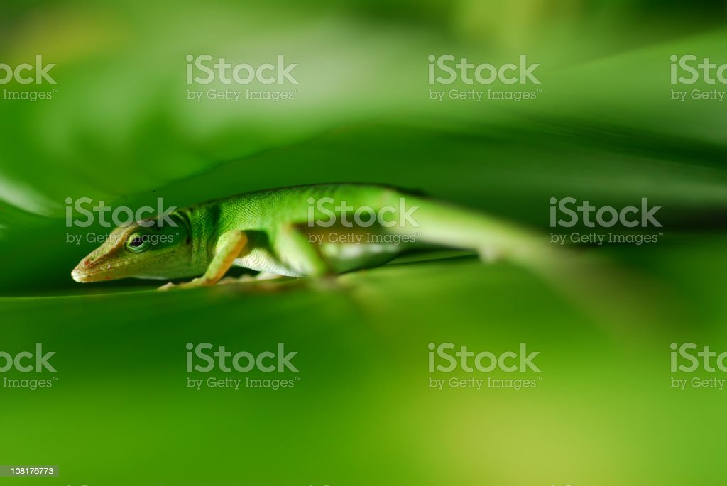 Gecko Close-up royalty-free stock photo