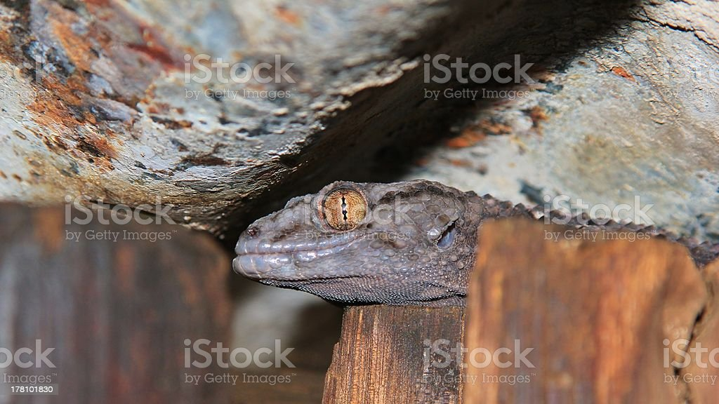 Gecko Eye of Rust and Gold stock photo