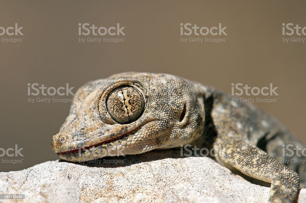 Gecko eye stock photo