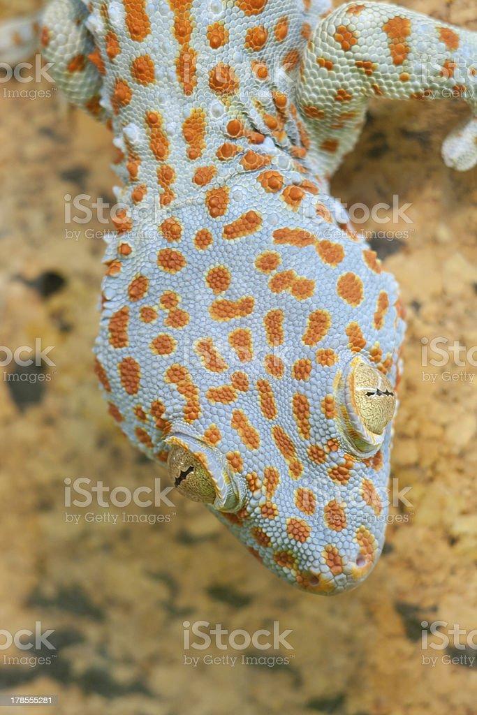 Gecko gekko royalty-free stock photo