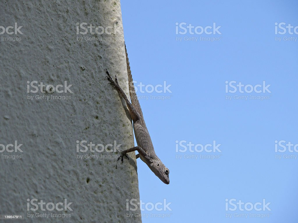 Gecko Hanging Out royalty-free stock photo