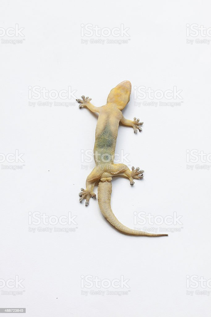 Gecko isolated on white ,House lizard stock photo