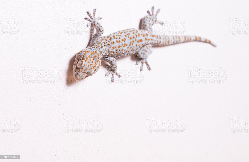 Gecko lizard climbing wall background. Selective focus at eye stock photo