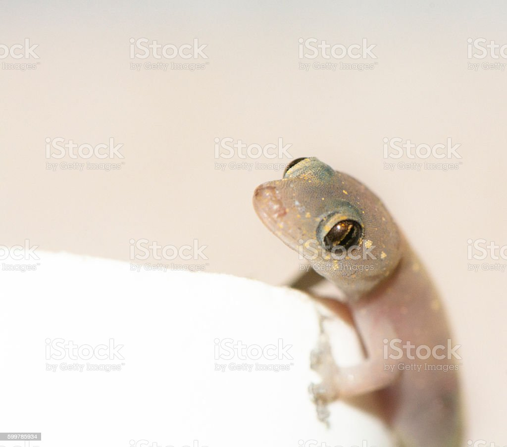 Gecko Lizard stock photo