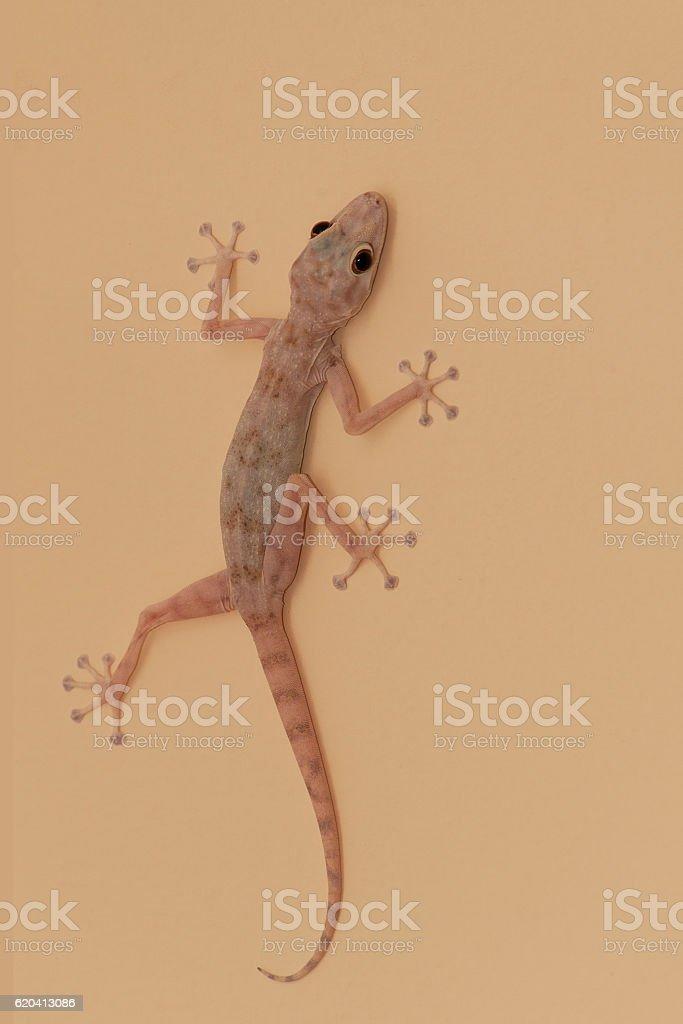 Gecko lizard stock photo