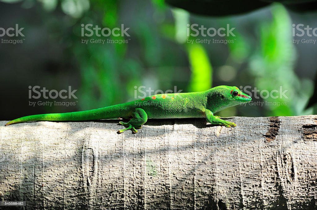 gecko on a branch full closed view stock photo