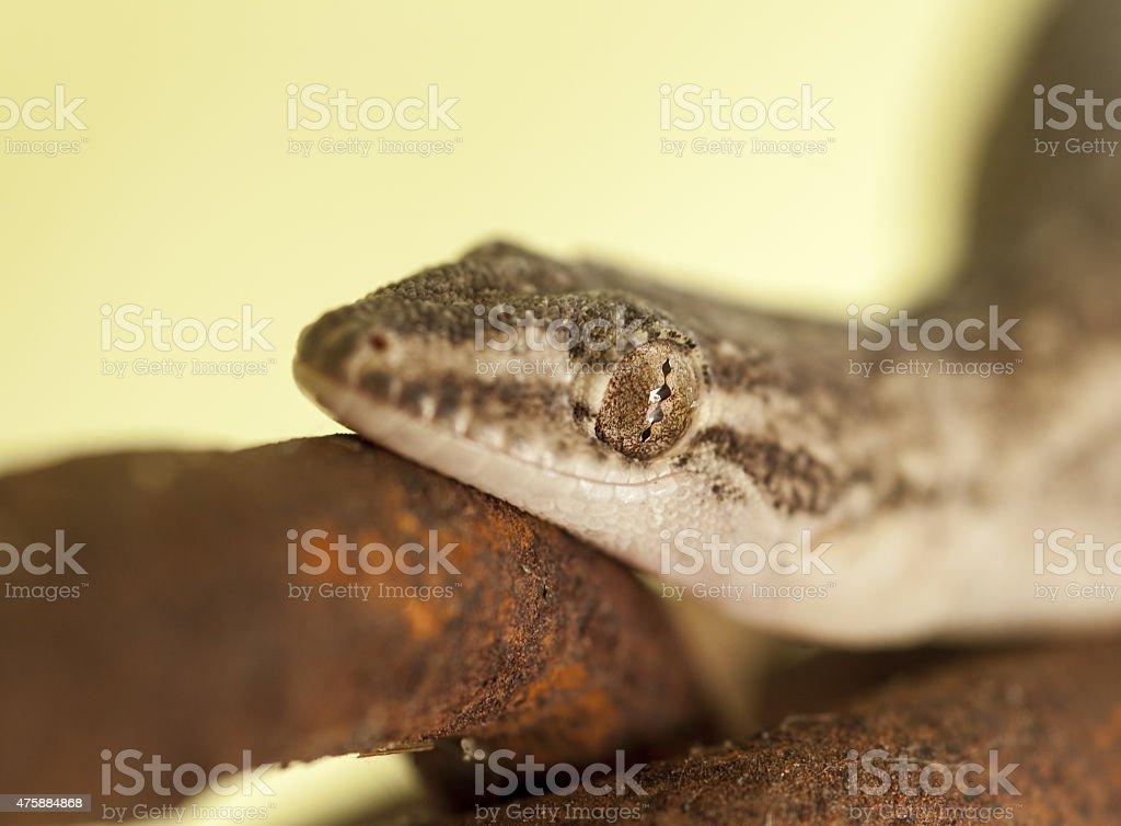 Gecko on rusty chain stock photo