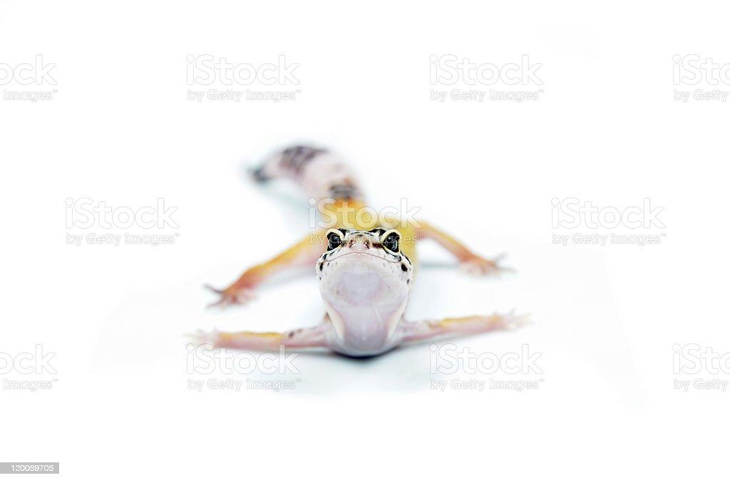 gecko stock photo