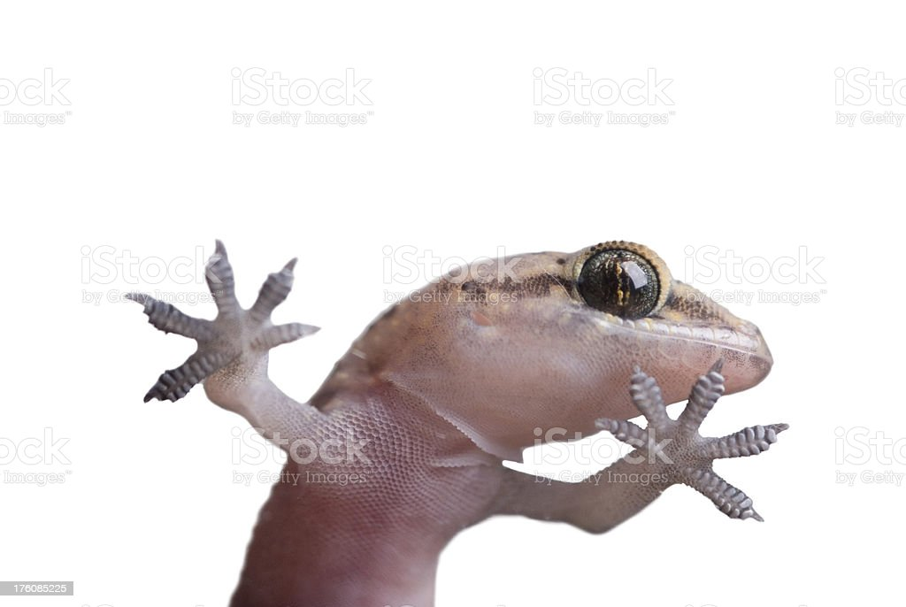 gecko royalty-free stock photo