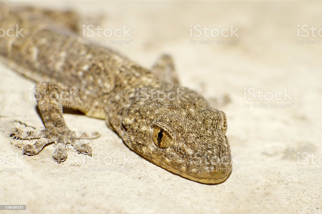 Gecko royalty-free stock photo