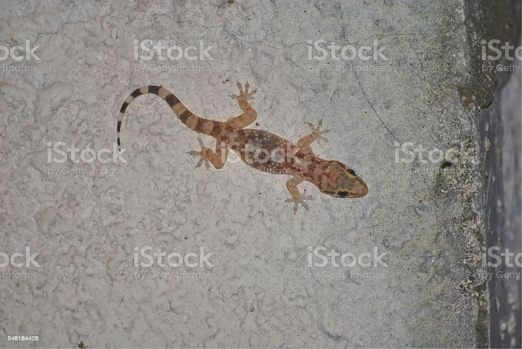 Gecko sits on a wall stock photo
