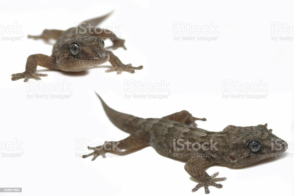 Gecko Superstar royalty-free stock photo