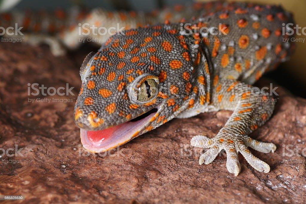 Gecko tokay, Gekko Gecko stock photo