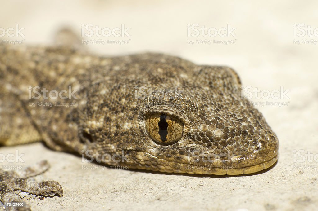 Gecko's eyes royalty-free stock photo