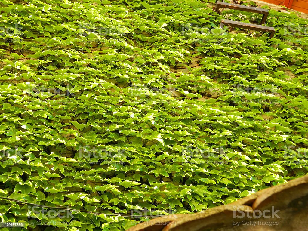 Geen ivy on building wall. stock photo
