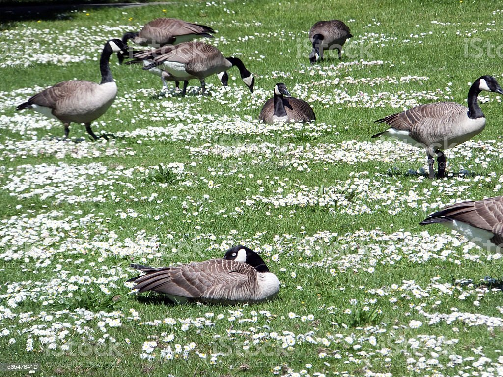 Geese and Daisy Flowers stock photo