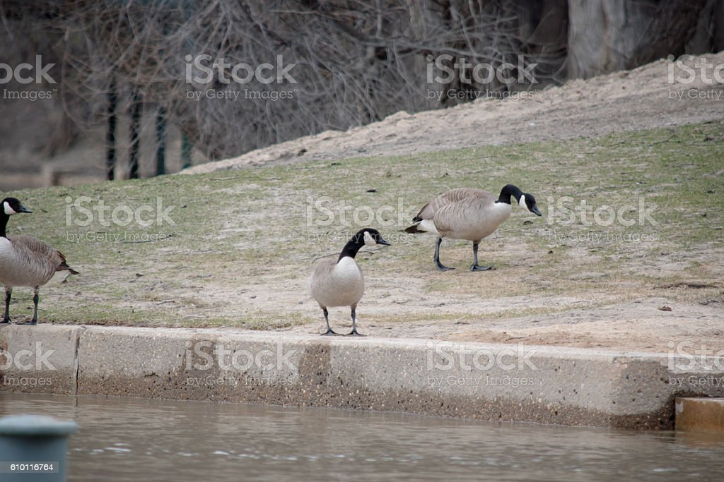 Geese at the forks standing stock photo