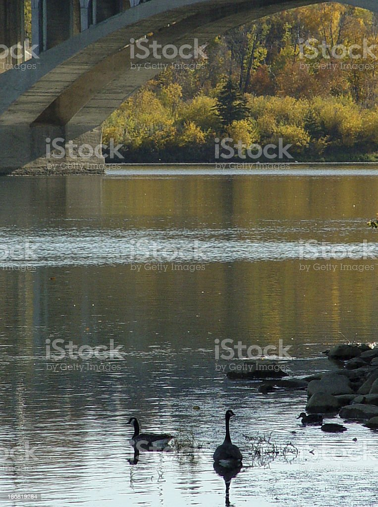 Geese by the bridge royalty-free stock photo