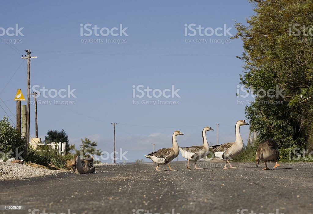 geese crossing royalty-free stock photo