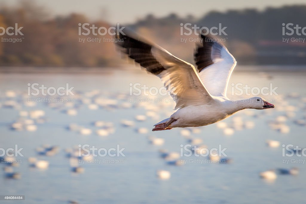 Geese during there migration stock photo