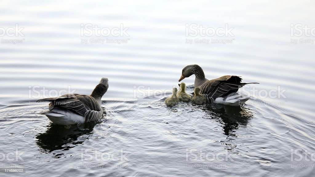 geese familiy with fresh little stock photo