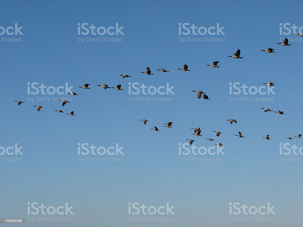 Geese flock migration stock photo