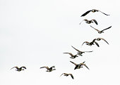Geese Flying Away