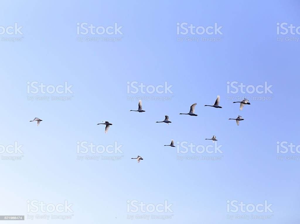 Geese flying in blue spring sky, v-formation stock photo