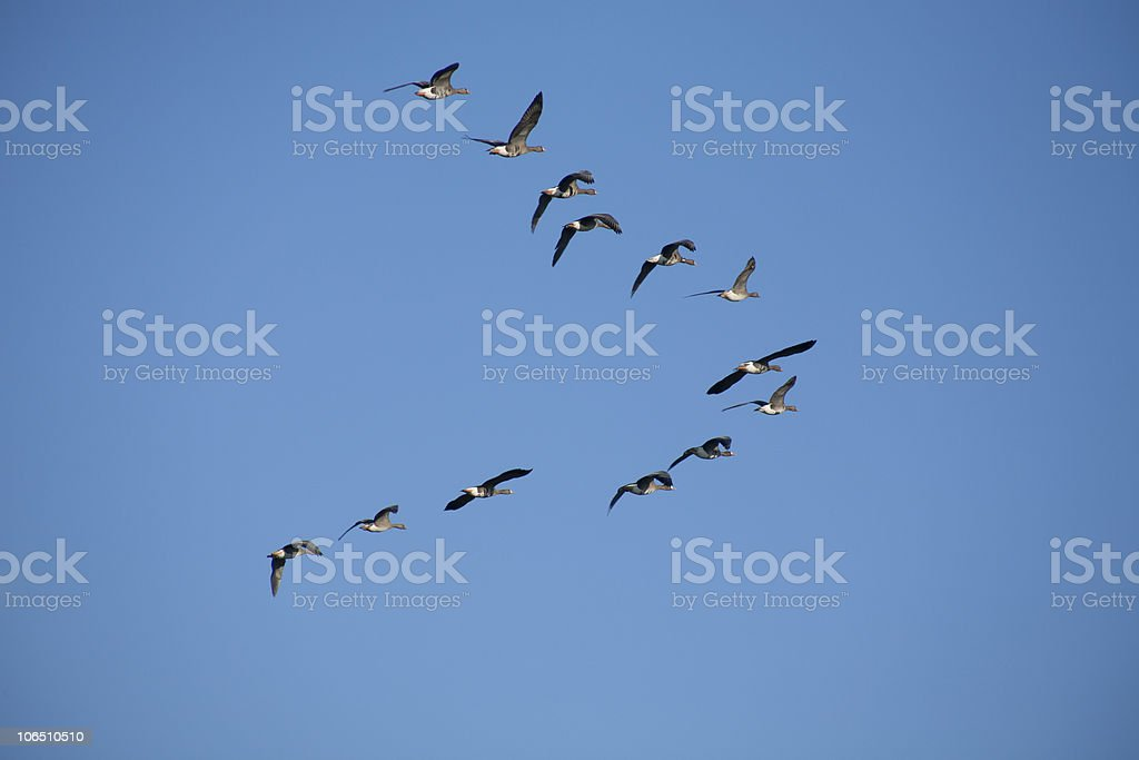 Geese flying in V-formation royalty-free stock photo